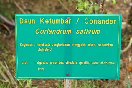coriander.JPG