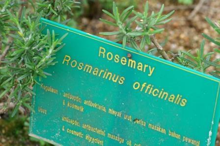 rosemary3.JPG