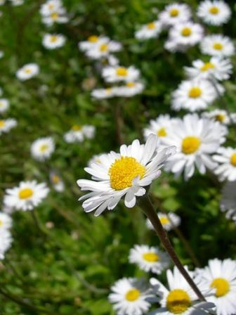 daisy-flickr.jpg